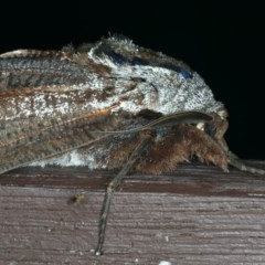 Endoxyla encalypti (Wattle Goat Moth) at Lilli Pilli, NSW - 17 Jan 2020 by jbromilow50