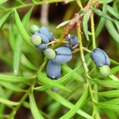 Podocarpus spinulosus at Coomee Nulunga Cultural Walking Track - 17 Jan 2020 by NicholasdeJong