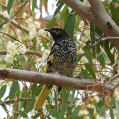 Anthochaera phrygia (Regent Honeyeater) at Watson Woodlands - 17 Jan 2020 by MatthewFrawley