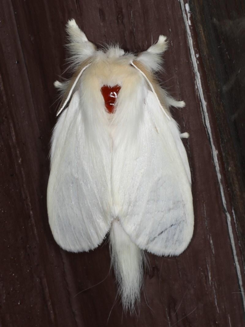 Trichiocercus sparshalli at Lilli Pilli, NSW - 17 Jan 2020