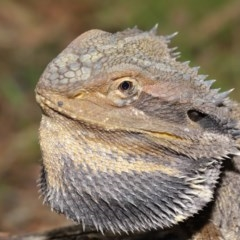 Pogona barbata (Eastern Bearded Dragon) at ANBG - 14 Jan 2020 by Tim L