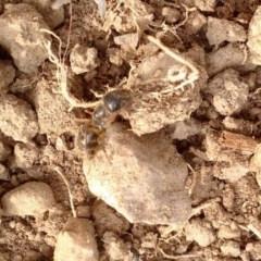 Camponotus sp. (genus) (A sugar ant) at Aranda, ACT - 17 Jan 2020 by KMcCue
