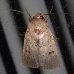 Proteuxoa hypochalchis (Proteuxoa hypochalchis) at Lilli Pilli, NSW - 17 Jan 2020 by jbromilow50