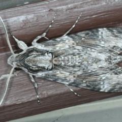 Agrius convolvuli (Convolvulus Hawk Moth) at Lilli Pilli, NSW - 16 Jan 2020 by jbromilow50