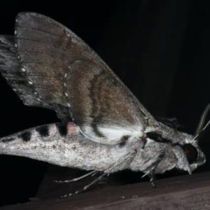 Agrius convolvuli at Lilli Pilli, NSW - 16 Jan 2020