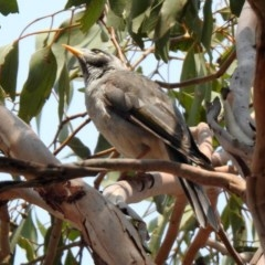 Manorina melanocephala (Noisy Miner) at Jerrabomberra Wetlands - 18 Jan 2020 by RodDeb