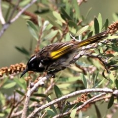 Phylidonyris novaehollandiae (New Holland Honeyeater) at Jerrabomberra Wetlands - 18 Jan 2020 by RodDeb