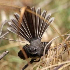 Rhipidura albiscapa (Grey Fantail) at Jerrabomberra Wetlands - 18 Jan 2020 by RodDeb