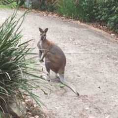 Macropus rufogriseus (TBC) at Lilli Pilli, NSW - 8 Jan 2020 by nickhopkins