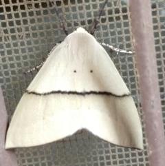 Gastrophora henricaria (Fallen-bark Looper, Beautiful Leaf Moth) at Greenleigh, NSW - 19 Jan 2020 by LyndalT