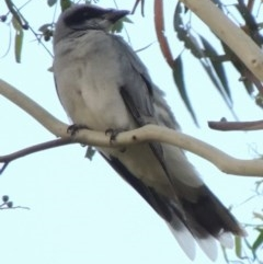 Coracina novaehollandiae (Black-faced Cuckooshrike) at Conder, ACT - 19 Jan 2020 by michaelb
