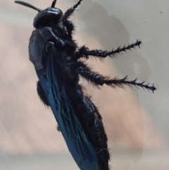 Austroscolia soror (Blue-winged flower wasp) at Spence, ACT - 19 Jan 2020 by Laserchemisty