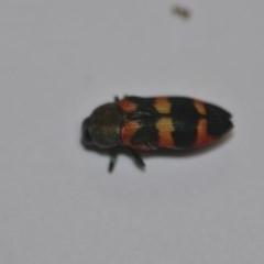 Castiarina sexplagiata (Six-spotted Castiarina jewel beetle) at Wamboin, NSW - 30 Dec 2019 by natureguy