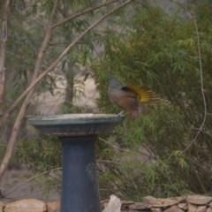 Ptilonorhynchus violaceus (Satin Bowerbird) at Wamboin, NSW - 31 Dec 2019 by natureguy
