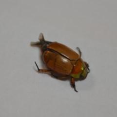 Anoplognathus chloropyrus (Green-tailed Christmas beetle) at Wamboin, NSW - 1 Jan 2020 by natureguy
