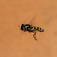 Simosyrphus grandicornis (Common hover fly) at Ulladulla, NSW - 19 Jan 2020 by CBrandis