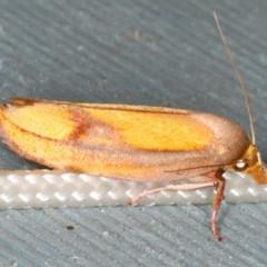 Wingia aurata (Golden Leaf Moth) at Lilli Pilli, NSW - 16 Jan 2020 by jbromilow50