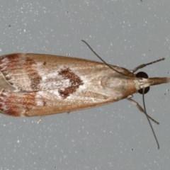 Syntonarcha iriastis (An Odontiinae Moth) at Lilli Pilli, NSW - 16 Jan 2020 by jbromilow50