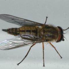 Trichophthalma sp. (Nemestrinid fly) at Lilli Pilli, NSW - 16 Jan 2020 by jbromilow50