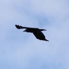 Corvus mellori (Little Raven) at Alpine, NSW - 7 Nov 2018 by JanHartog