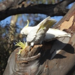 Cacatua galerita (Sulphur-crested Cockatoo) at Black Mountain - 19 Jan 2020 by HelenCross