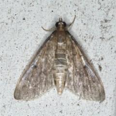 Herpetogramma licarsisalis (Sod Webworm) at Lilli Pilli, NSW - 16 Jan 2020 by jbromilow50