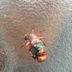 Anoplognathus porosus (Washerwoman Christmas Beetle) at Bawley Point Bushcare - 18 Jan 2020 by Marg
