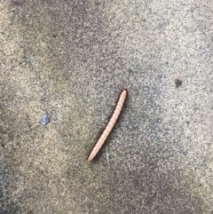 Unidentified Worm / Other Terrestrial Invertebrate (TBC) at Bawley Point, NSW - 18 Jan 2020 by Marg