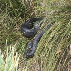 Morelia spilota spilota (Diamond Python) at Bawley Point, NSW - 19 Jan 2020 by Marg