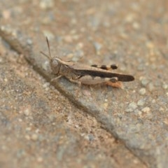 Austroicetes pusilla (Grasshopper, Locust) at Wamboin, NSW - 1 Jan 2020 by natureguy