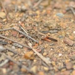 Austroicetes sp. (genus) (A grasshopper) at Wamboin, NSW - 1 Jan 2020 by natureguy