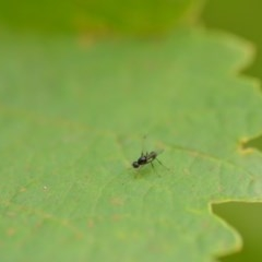 Sepsidae (family) (Unidentified Black scavenger fly or Ant fly) at Wamboin, NSW - 1 Jan 2020 by natureguy