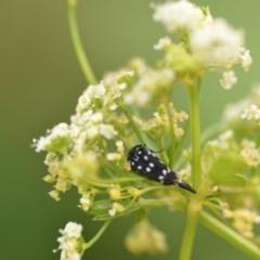 Mordella dumbrelli (Pintail or tumbling flower beetle) at Wamboin, NSW - 1 Jan 2020 by natureguy
