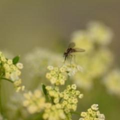 Geron sp. (genus) (Slender Bee Fly) at Wamboin, NSW - 1 Jan 2020 by natureguy