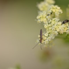 Syllitus microps (Longicorn or Longhorn beetle) at Wamboin, NSW - 1 Jan 2020 by natureguy