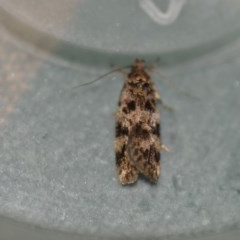 Barea phaeomochla (A concealer moth) at Wamboin, NSW - 2 Jan 2020 by natureguy