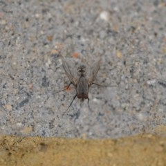 Tachinidae sp. (family) (Unidentified Bristle fly) at Wamboin, NSW - 3 Jan 2020 by natureguy
