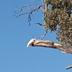 Cacatua galerita (Sulphur-crested Cockatoo) at Mount Mugga Mugga - 20 Jan 2020 by Mike