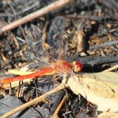 Diplacodes haematodes (Scarlet Percher) at Yatte Yattah, NSW - 20 Jan 2020 by CBrandis