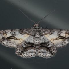 Cleora injectaria (A Cleora Bark Moth) at Lilli Pilli, NSW - 16 Jan 2020 by jbromilow50