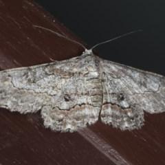 Cleora displicata (A Cleora Bark Moth) at Lilli Pilli, NSW - 16 Jan 2020 by jbromilow50