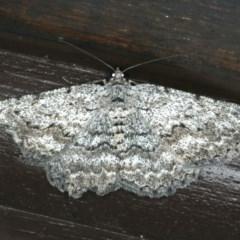 Psilosticha absorpta (Looper moth) at Lilli Pilli, NSW - 16 Jan 2020 by jbromilow50