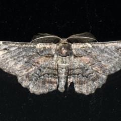 Pholodes sinistraria (Pholodes sinistraria) at Lilli Pilli, NSW - 16 Jan 2020 by jbromilow50