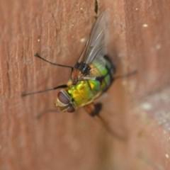 Rutilia (Chrysorutilia) formosa (A Bristle fly) at Wamboin, NSW - 3 Jan 2020 by natureguy
