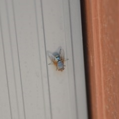 Calliphora sp. (genus) (Unidentified blowfly) at Wamboin, NSW - 3 Jan 2020 by natureguy
