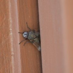Rutilia (Donovanius) sp. (genus & subgenus) (A Bristle Fly) at Wamboin, NSW - 3 Jan 2020 by natureguy