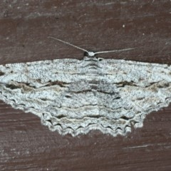 Scioglyptis chionomera (Grey Patch Bark Moth) at Lilli Pilli, NSW - 16 Jan 2020 by jbromilow50