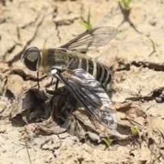 Villa sp. (genus) (Unidentified Villa bee fly) at Watson, ACT - 21 Jan 2020 by AlisonMilton