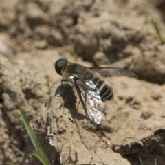 Villa sp. (genus) (Unidentified Villa bee fly) at Watson, ACT - 21 Jan 2020 by WarrenRowland