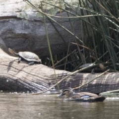 Chelodina longicollis (Eastern Long-neck Turtle) at Watson, ACT - 21 Jan 2020 by WarrenRowland
